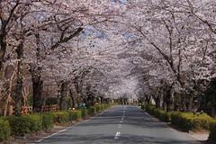 長瀞 北桜通り002