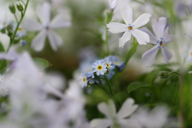 Forget-me-Nots and Phlox