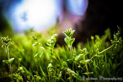 wild nature leaves japan canon eos 50mm leaf flora bokeh 日本 花 岐阜 gifu hanami haru lakshman flickrfriday 50d canonef50mmf18ii 本巣 2013 canoneos50d lakshmanphotography