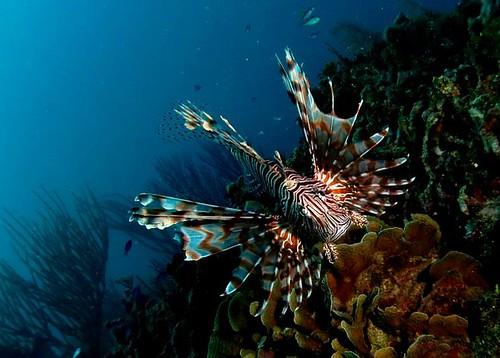 獅子魚原生分佈於西太平洋和大洋洲,東至法屬波利尼西亞,在台灣是常見物種,但目前透過水族貿易,已經侵入至西北大西洋和加勒比海,是歷史上入侵速度 最快的海水魚類。 攝影者:Polly Alford