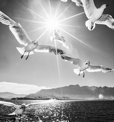 [Free Images] Animals (Others), Gulls / Seagulls, Birds - Fly, Lens Flare, Black and White ID:201303311000