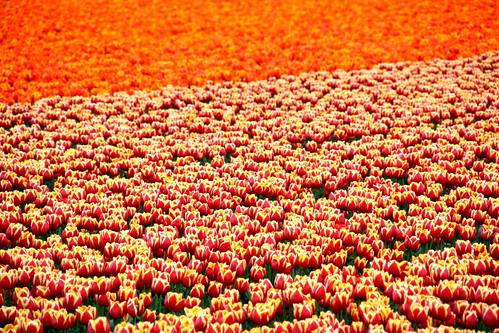 [フリー画像素材] 花・植物, チューリップ, 花畑 ID:201303310600