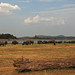 Asian Elephants gathering, Minneriya National Park (Tom Mills)