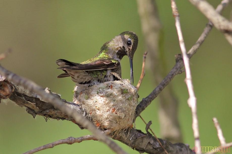 Anna's Hummingbird neset 032913-2