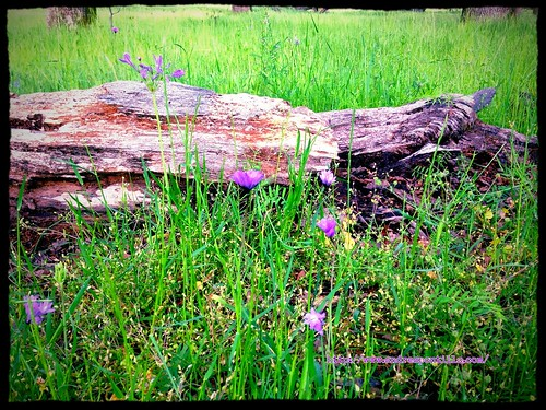 A fallen tree and purple weeds