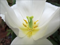 Inside a white tulip