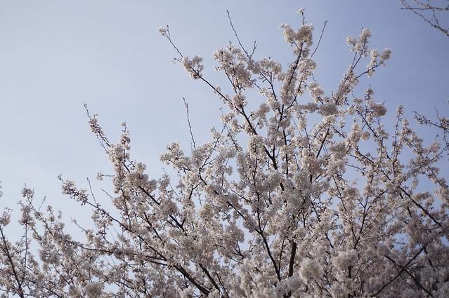 春始めました10 桜 晴!