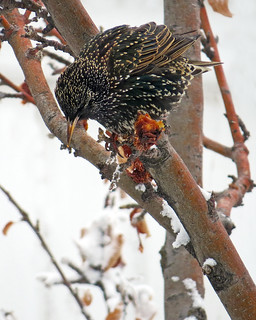 Starling Feeding on Parkland Apples