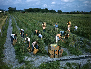 Future Farmers of America picking tomatoes: Palmetto, Florida