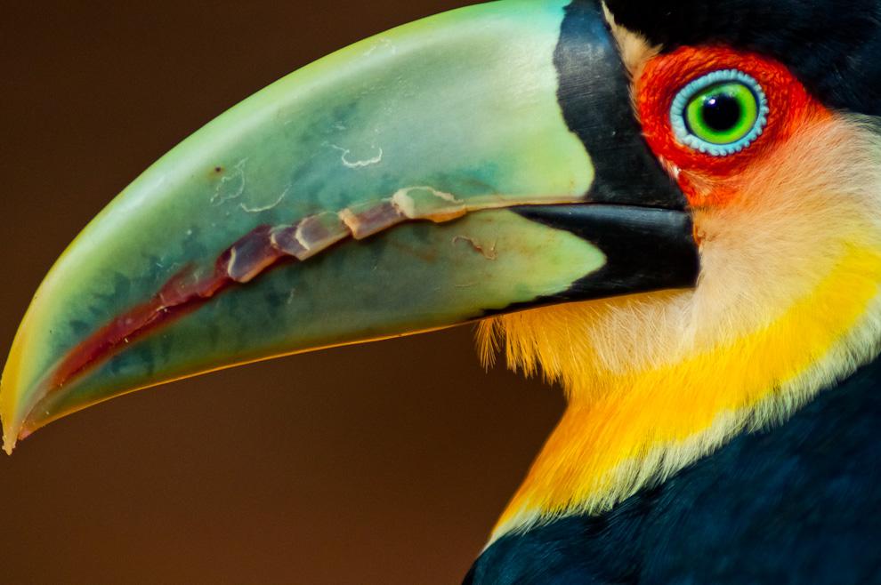 Un Tucán (Ramphastos Dicolorus) posa para la foto en el Parque de las Aves de Foz de Iguazú durante una visita a la ciudad para fotografiar las actividades turísticas durante la semana santa del año 2012. El Parque de las Aves, las Cataratas del Iguazú y los zoológicos son atractivos lugares visitados en épocas de vacaciones y feriados en el país vecino. Con una moderada inversión que implica viajar hasta Ciudad del Este y establecerse en un hotel, cualquiera puede tener la oportunidad de visitar dichos lugares gracias a la facilidad del sistema de transportes de la frontera. (Elton Núñez)
