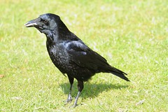 Crow eating ham in Kew Gardens (1)
