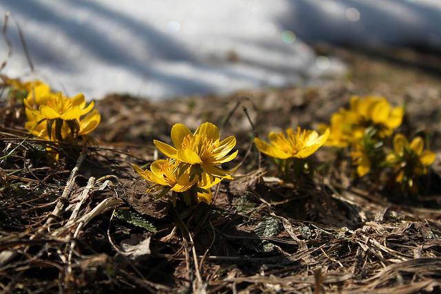 Эрантис, или весенник зимний — Eranthis hyemalis, Ranunculaceae
