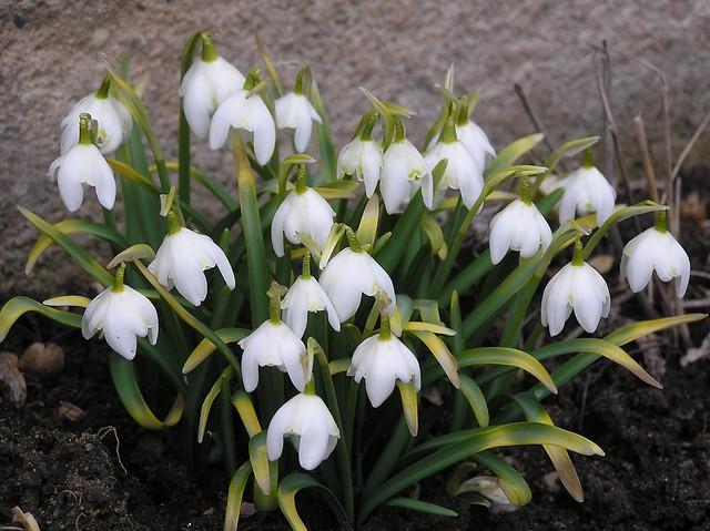 Galanthus nivalis var flore pleno