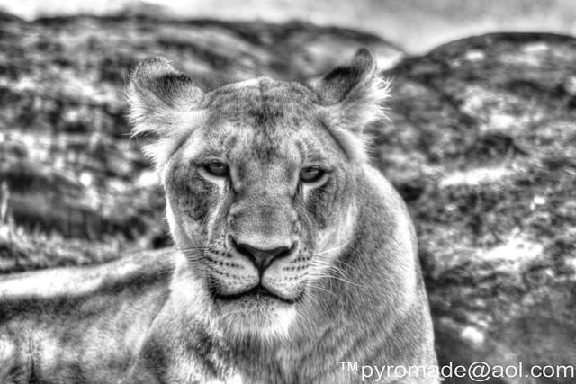 Lioness IMG_5973HDR