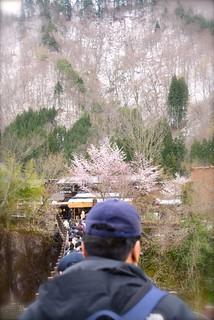 桜と出会い橋@白川郷。