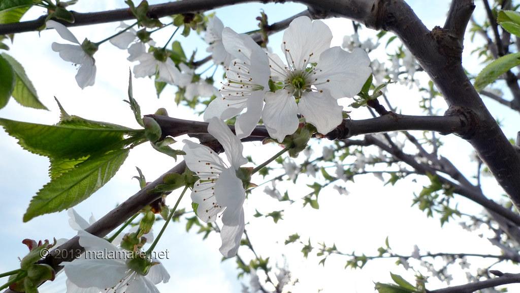 Cherry tree blossom, petals