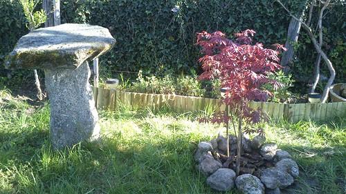 Arce japonés en el jardín