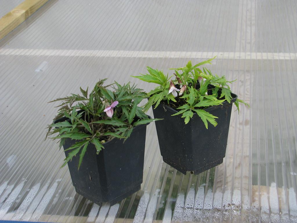 Viola - Japanese species