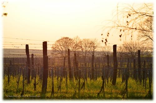 landscape tájkép szőlő ivánbattyán