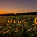 Sunflower Sunset by Daniel.Peter