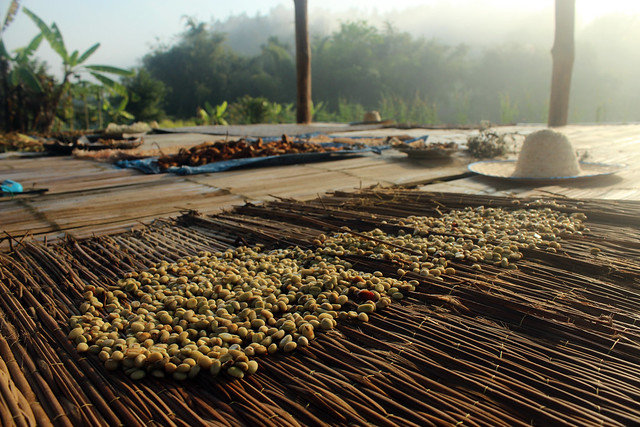 Coffee beans drying in Thailand