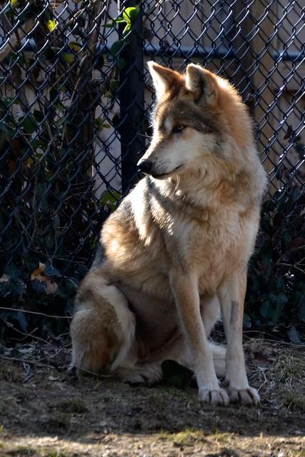 Sitting Wolf | Flickr - Photo Sharing!