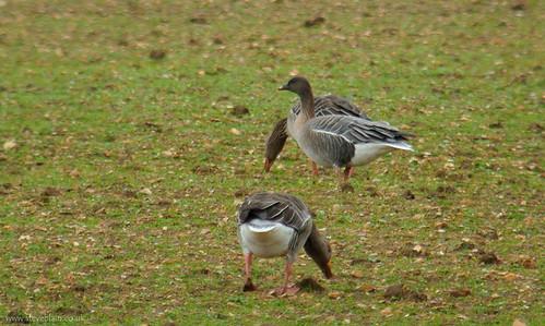 Pink-footed Goose at Broom GP