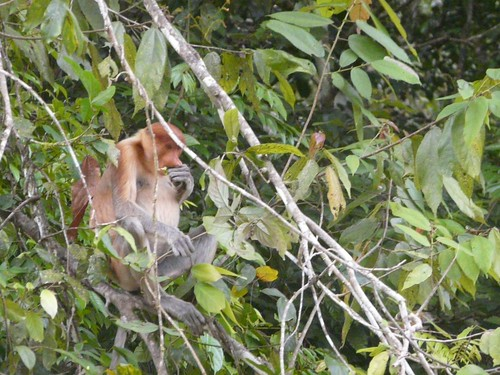 Proboscis Monkey eating