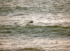 Pajaro Dunes dolphin - 1