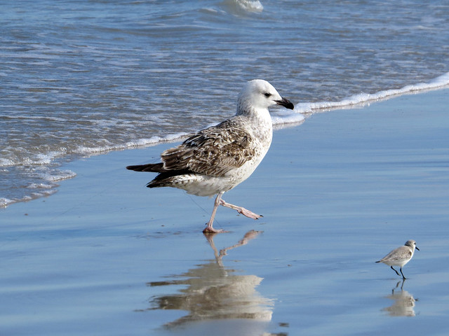 Great Black-backed Gull with fishing line
