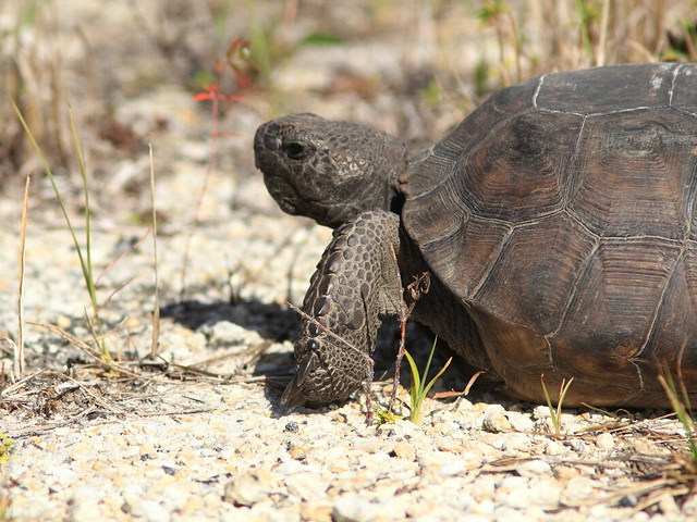 Gopher Tortoise 20130311
