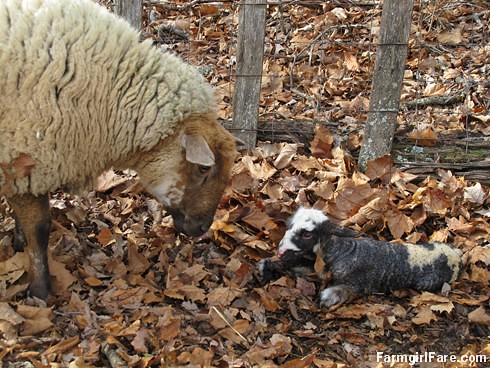 Helga cleaning up her newborn lambs (7) - FarmgirlFare.com