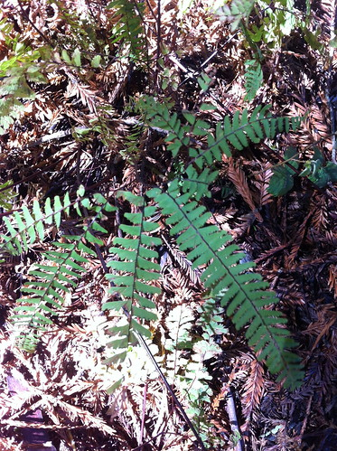 Five Fingered Fern