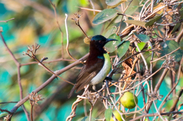 Purple-rumped Sunbird, male