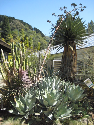 Agave parryi clump with spent bloom