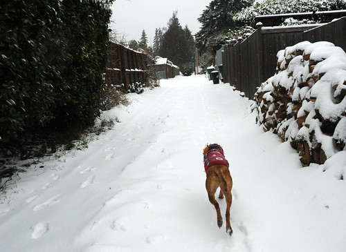 Rosie takes off for a run in the snow, stacked logs, fences, alley, Seattle, Washington, USA by Wonderlane