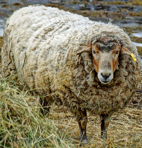 HDR Sheep