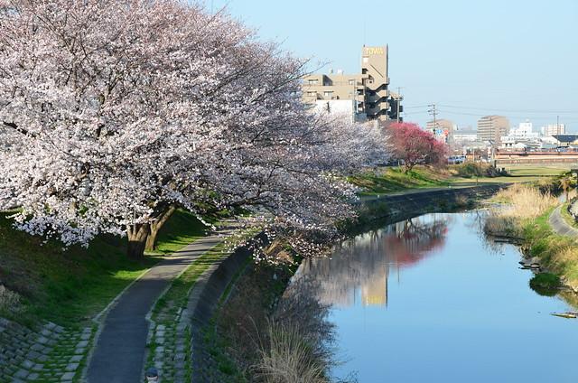 CherryBlossom_6