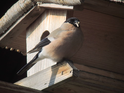 Female Eurasian Bullfinch