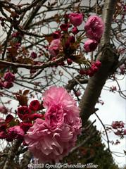 unidentified pompom flowers (tree)
