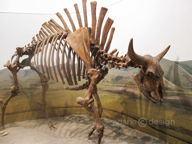 Beringia Steppe Bison (Bison Priscus)