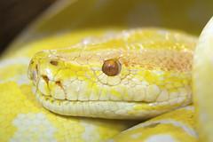 Albino python (?)