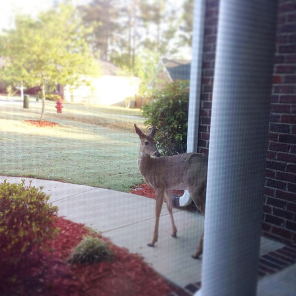 Woke up to a fawn on our doorstep! It's not afraid at all. #PicTapGo