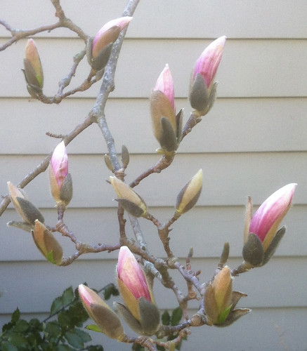 Buds on Magnolia Tree by randubnick