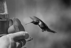 B&W hummingbird