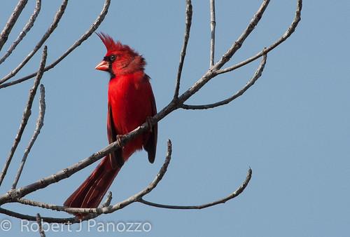 bird cardinal sanibel sanibelisland northercardinal jndingdarlingnwr