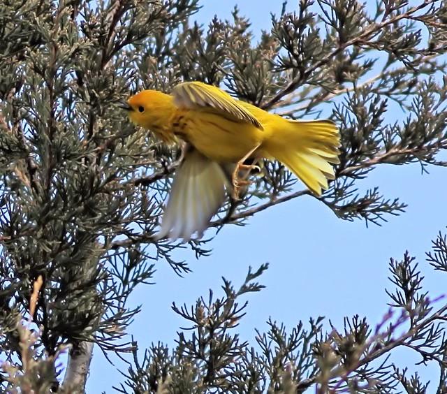 Yellow Warbler in flight 20130425