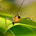 LOOKS... LIKE A BOXER SPIDER... WONDER OF NATURE :) by Anand Lepcha