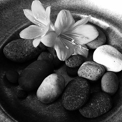 Flowering #stones #stilleben #bw