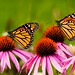 Double Monarchs by Bill VanderMolen